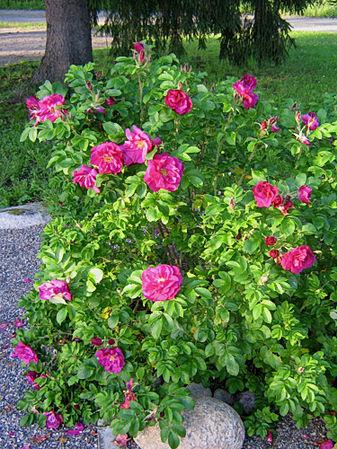 Moje Hammarsberg, Finnish Rose Society 2.jpg