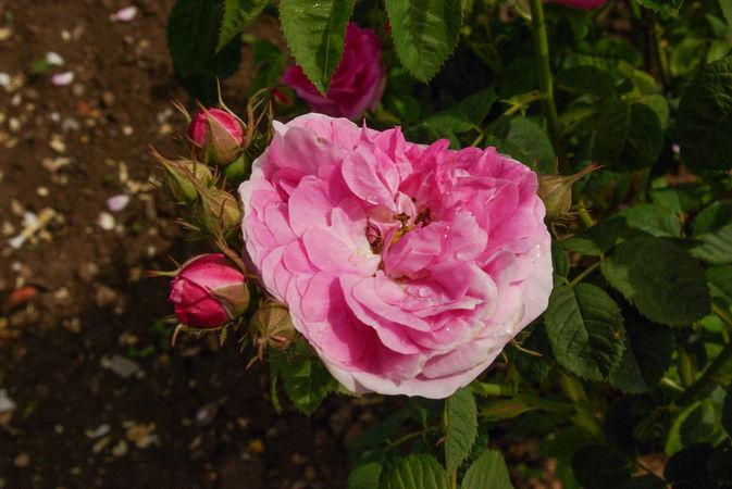 R. x centifolia L. SGH (2)-1-w.jpg