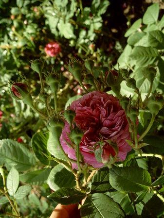 Belle rosine-ori.jpg