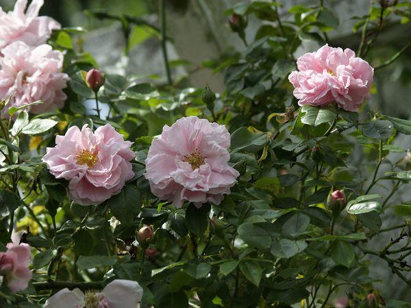 Rosa Wichurana-Gerbe Rose-2019-06-11- 6117913.JPG