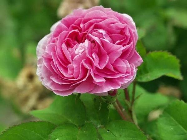 Rosa centifolia minor (petite de hollande) filtered-3-g.jpg