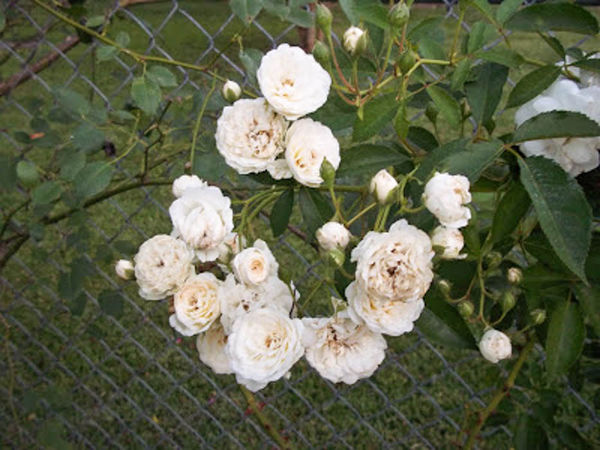 Davy Barr Prosperity bloom cluster (2) 06-16-11-w.jpg