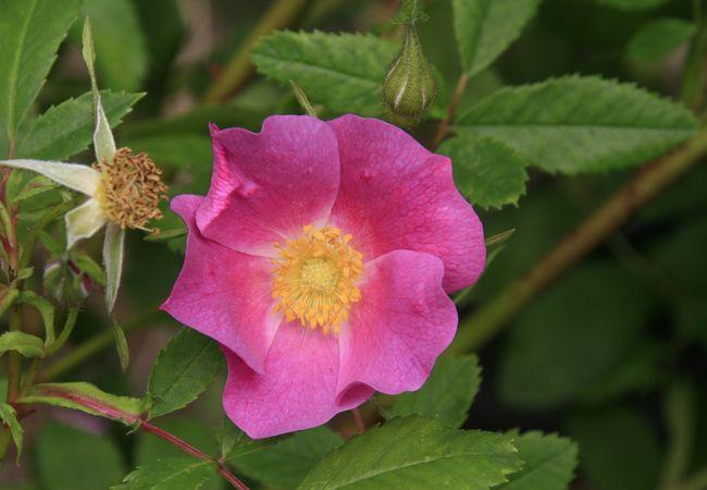 Rosa nutkana, nwplants.com 1.JPG