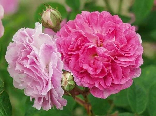 Seven Sister's Rose (platyphylla) filtered-3-g.jpg