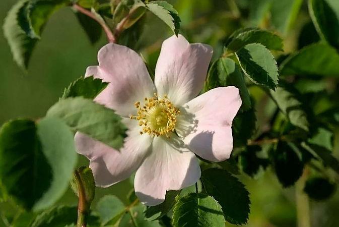 Rosa ultramontana filtered-3-g.jpg