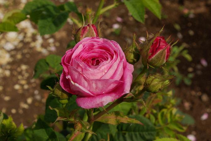 R. x centifolia L. SGH (6)-1-w.jpg