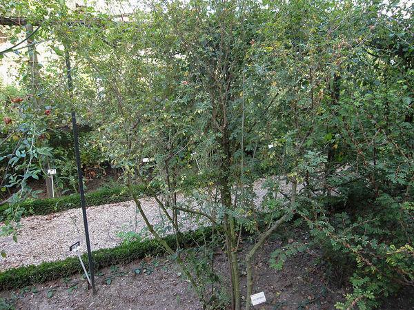 R.minutifolia alba, Stéphane Barth, L'Hay 2-w.jpg