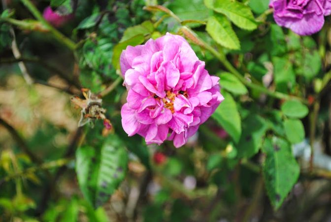 1G114 Nanette oder Beau Narcisse5.jpg