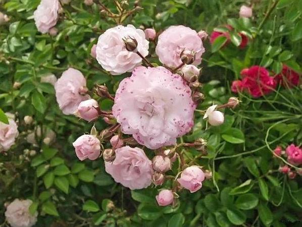 Emerick Rose filtered-3-g.jpg