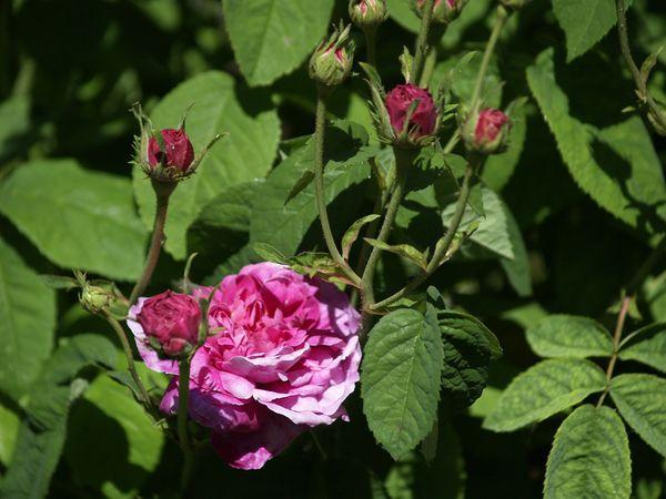 Rosa gallica Aimable Amie-2021-06-16- 6169791.jpg