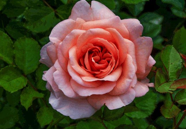 Anni Berger Rose 1-w.jpg