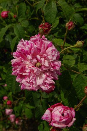 Panachée à fleurs doubles, Vibert 1839, Gall. SGH (2)-1-w.jpg