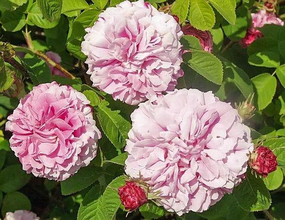 Pink leda filtered-3-g.jpg