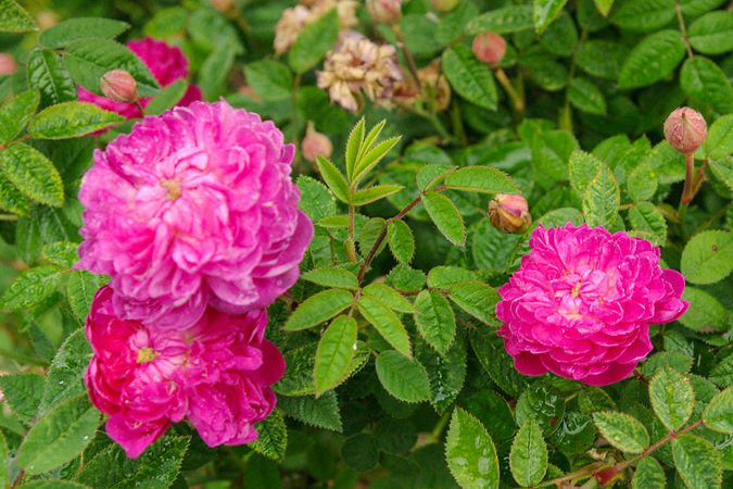 R. x centifolia var. parvifolia, 'Parvifolia'-1-SGH-1-w.jpg
