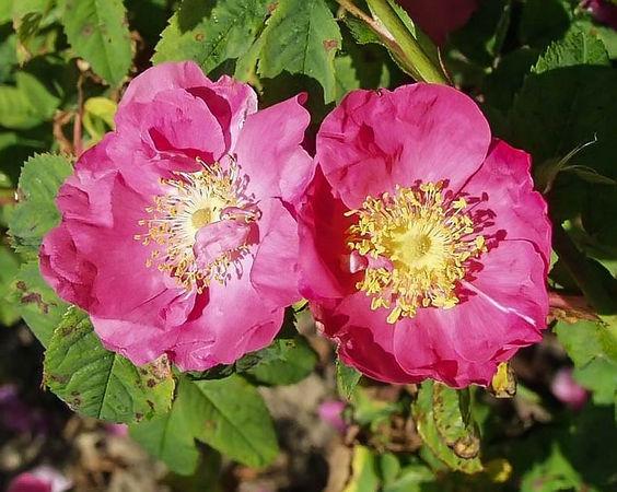 Rosa gallica filtered-3-g.jpg