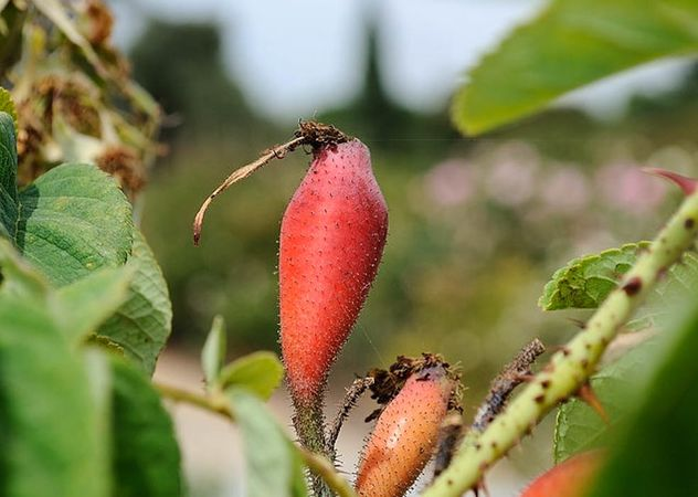 Rose de Puteaux, Masha, San Jose Heritage Eose Garden 2-w.jpg