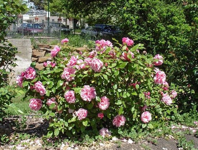 Barossa Almerta Orchard Pink Tea ROR-w.jpg