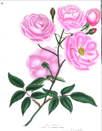 Rosa indica, Roses or a Monograpg of the Genus Rosa.PNG