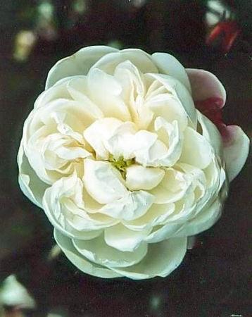 Rosa cannabifolia filtered-3-g.jpg