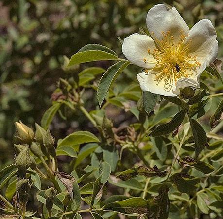 Rosa soulieana 4, Cassandra Bernstein, own garden-2-w.jpg