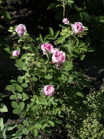 Rosa cenfifolia-Pompon de Bourgogne-2020-06-20- 6158940.JPG