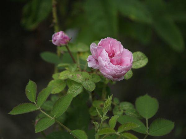 Rosa centifolia-Pompon de Bourgogne-2020-06-13- 6138878.jpg