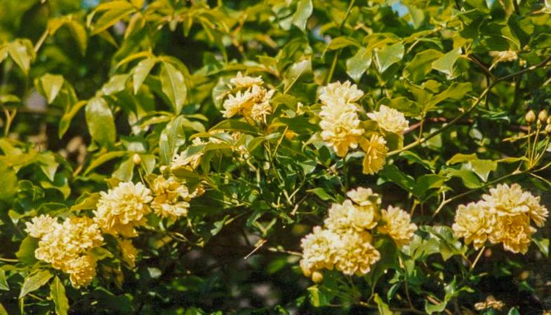 Banksiae lutea, Raymond Loubert 2-w.jpg