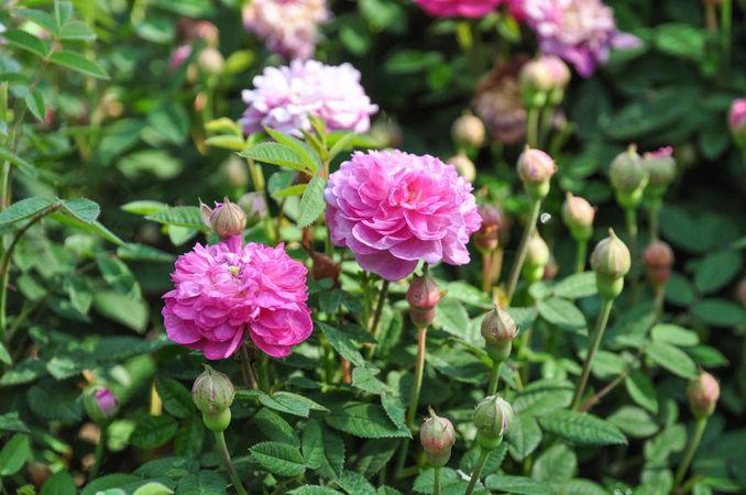 R. x Centifolia ´Parvifolia´-w.jpg