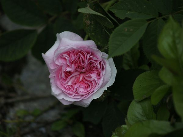 Rosa Alba-Koenigin von Daenemark-2020-06-08- 6088829.jpg