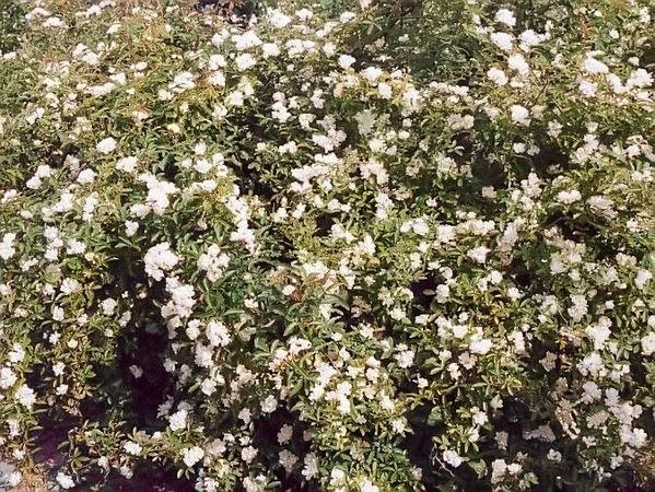 Banksiae purezza filtered-3-g.jpg