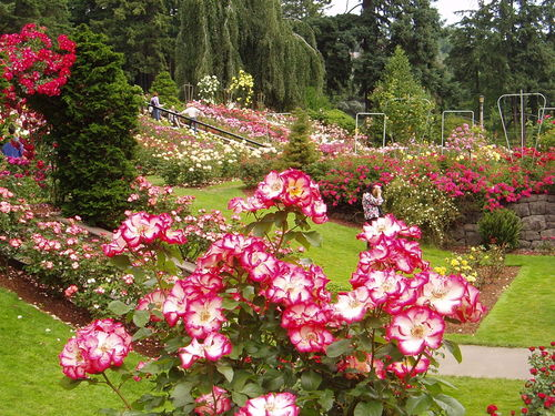 Portland-international-rose-test-garden-port.jpg