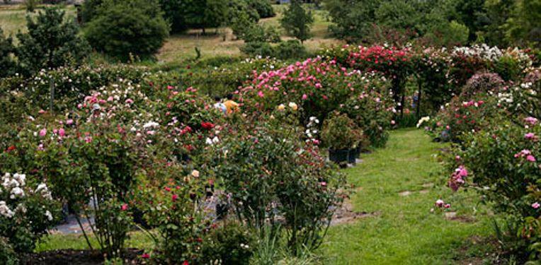 Vintage Roses, RosesNotes 1-w.jpg