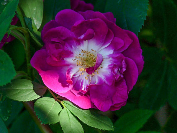 Rosa inermis morlettii 1-1-g.jpg