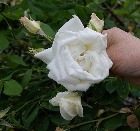 Blanc Pur, Mauget 1827, Nois. H.-2-SGH-1-w.jpg