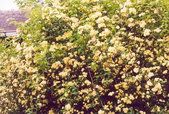 Banksiae lutea, Raymond Loubert 3-w.jpg