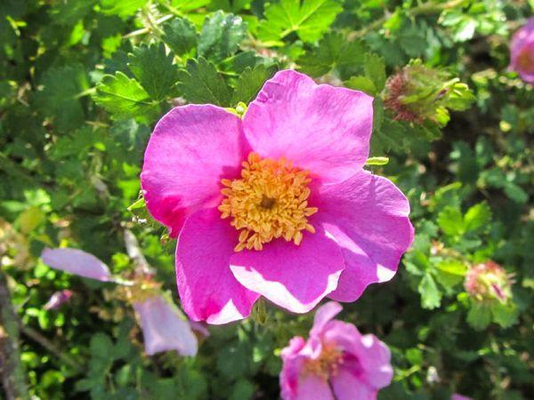 Rosa stellata var. mirifica 4-6-w.jpg