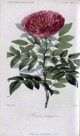 R. rugosa.jpg