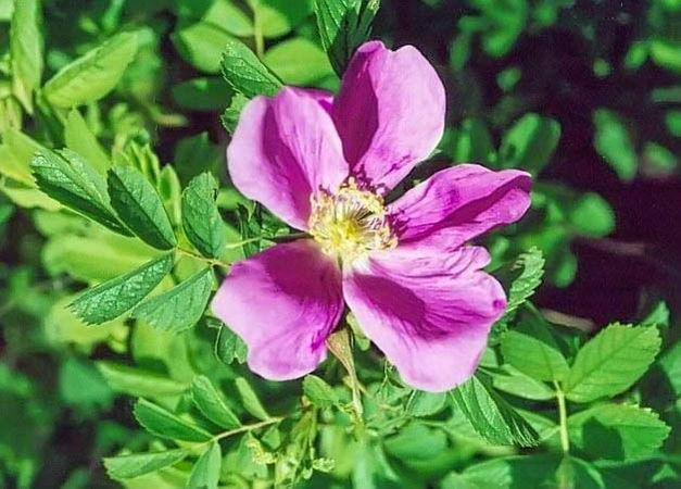 R.californica filtered-3-g.jpg