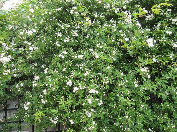 R.banksiae alboplena, Stéphane Barth, L'Hay 2-w.jpg