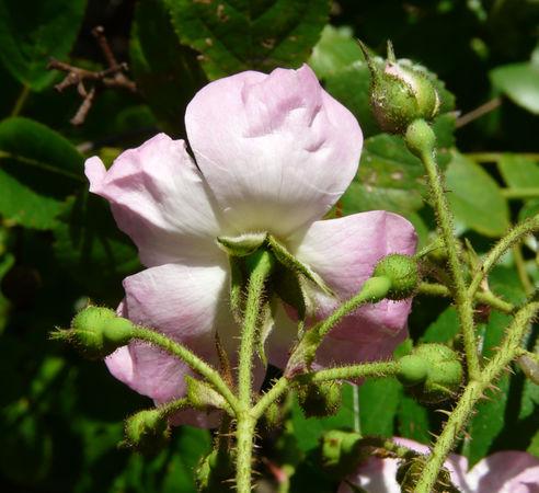 R.multiflora var cathayensis, Andrea Moro, Università di Trieste 2.jpg