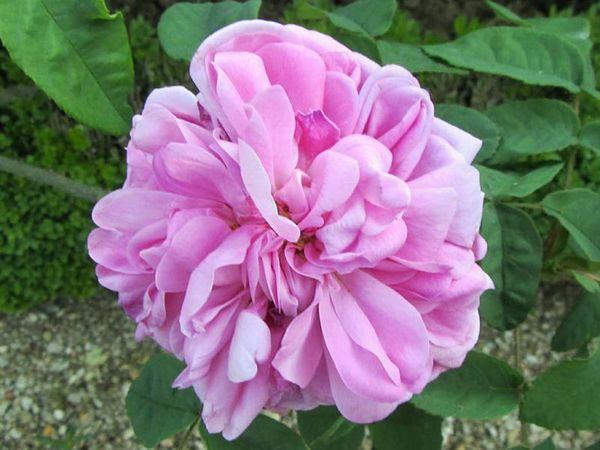Rose de Meaux, Stéphane Barth, L'Hay 3-w.jpg
