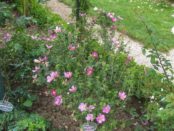 Rosa stellata var. mirifica 2-6-w.jpg