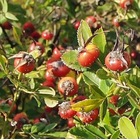 R.virginiana alba fruits filtered-3-g.jpg