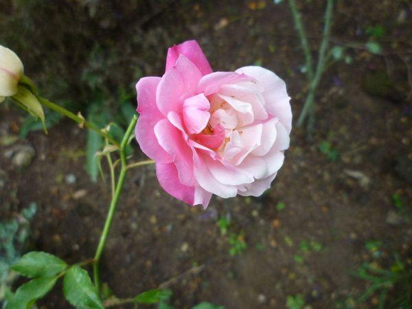 03 Fortunes 5 colored RoseP1090397.jpg