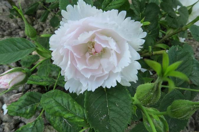 Dianthiflora, Ostergaard 2-w.jpg