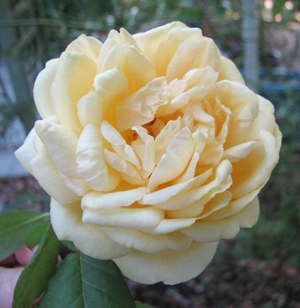 Duchesse d'Auerstadt IMG 7337 thumb-w.jpg