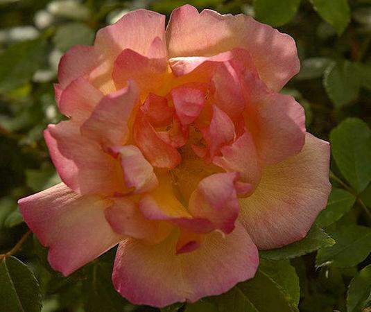Fortune's Doble, C. Bernstein's garden 2-w.jpg