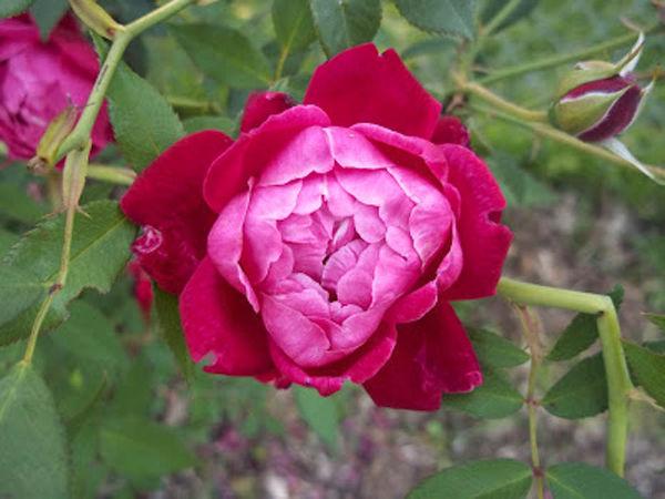 Davy Barr Cramoisi Superieur bloom 04-19-12-w.jpg