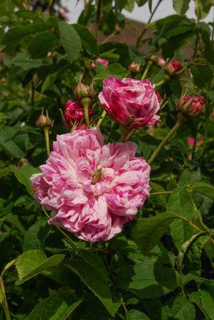 Panachée à fleurs doubles, Vibert 1839, Gall. SGH (3)-1-w.jpg