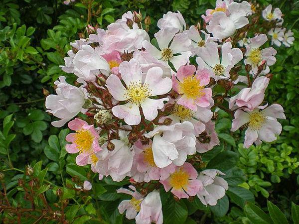 R.multiflora adenochaeta, Stéphane Barth. L'Hay 1-w.jpg